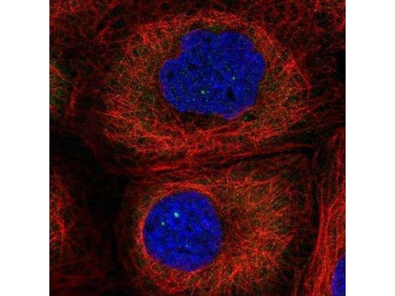 Immunofluorescence (IF) image for anti-Leucyl-tRNA Synthetase (LARS) antibody (ABIN4330335)