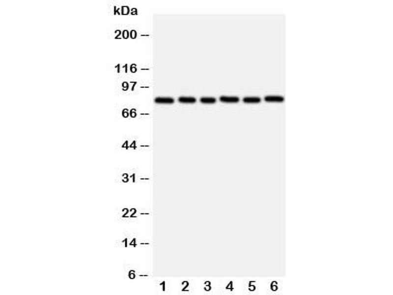 Western Blotting (WB) image for anti-V-Myb Myeloblastosis Viral Oncogene Homolog (Avian)-Like 2 (MYBL2) (N-Term) antibody (ABIN3029533)