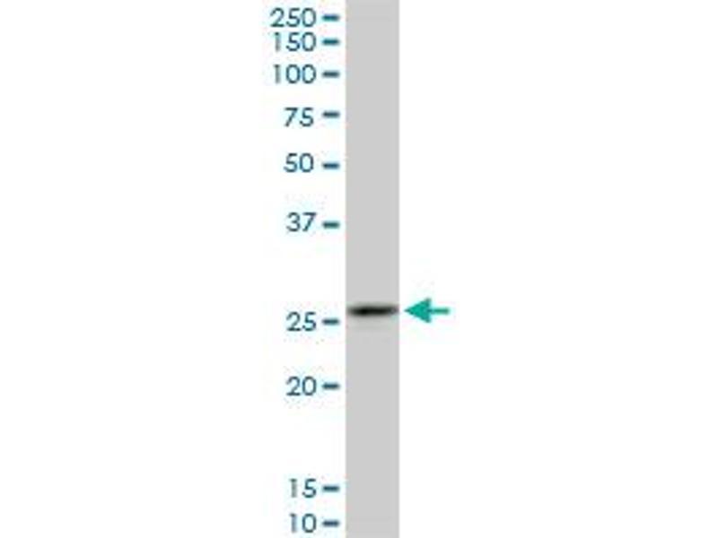 Western Blotting (WB) image for anti-Calpain S1 antibody (Calpain, Small Subunit 1) (AA 172-260) (ABIN560162)