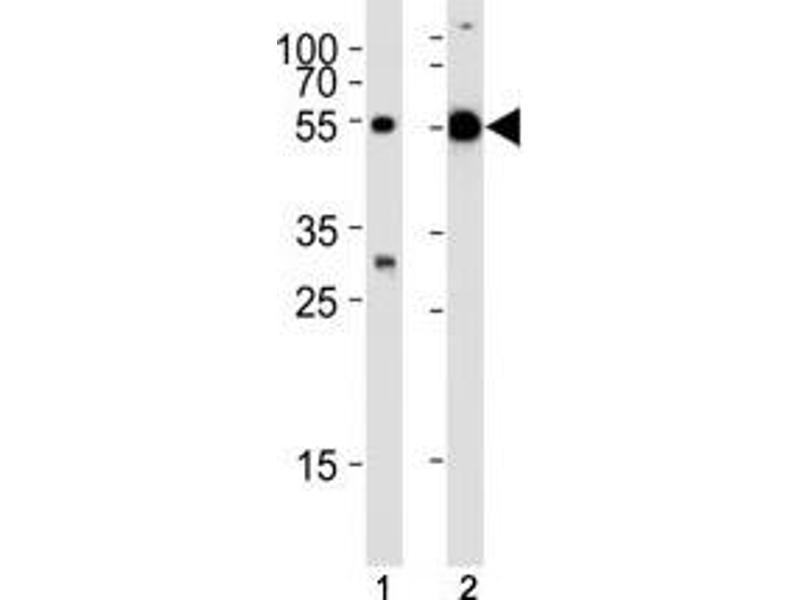 Western Blotting (WB) image for anti-TUBA1C Antikörper (Tubulin, alpha 1c) (AA 414-441) (ABIN3029334)