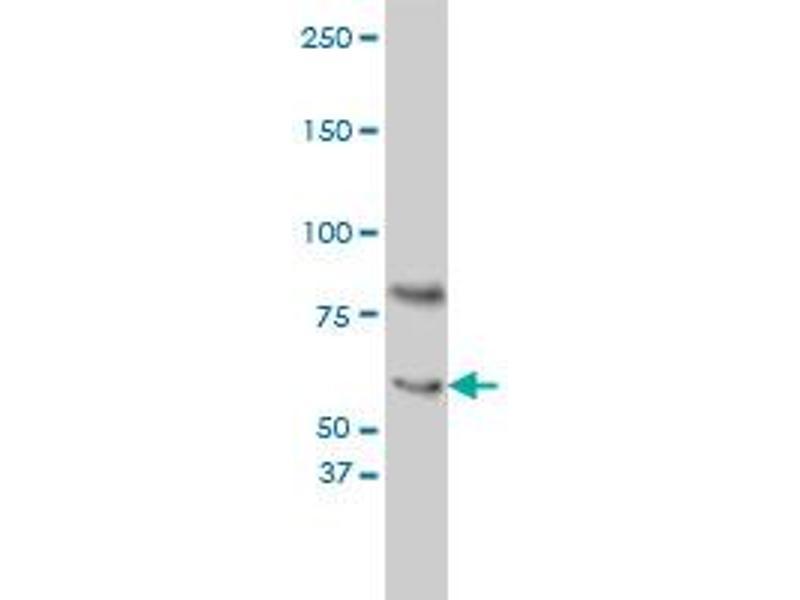 Western Blotting (WB) image for anti-Cryptochrome 1 (Photolyase-Like) (CRY1) (AA 1-586), (full length) antibody (ABIN560474)