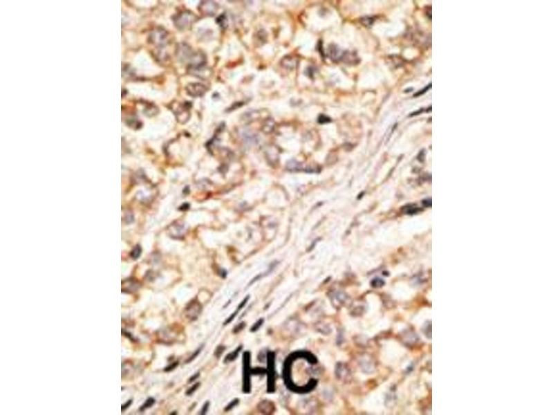 Immunohistochemistry (IHC) image for anti-Gap Junction Protein, delta 2, 36kDa (GJD2) (AA 291-321), (C-Term) antibody (ABIN388383)
