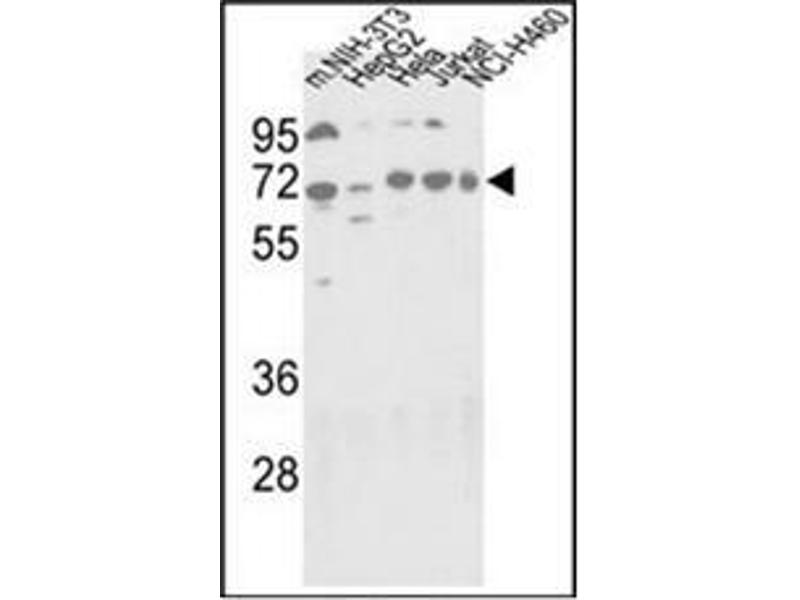 Western Blotting (WB) image for anti-ATG16L1 antibody (ATG16 Autophagy Related 16-Like 1 (S. Cerevisiae)) (AA 377-407) (ABIN1449636)
