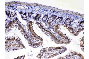 Image no. 1 for anti-Mediator Complex Subunit 4 (MED4) (AA 27-140) antibody (ABIN5519029)
