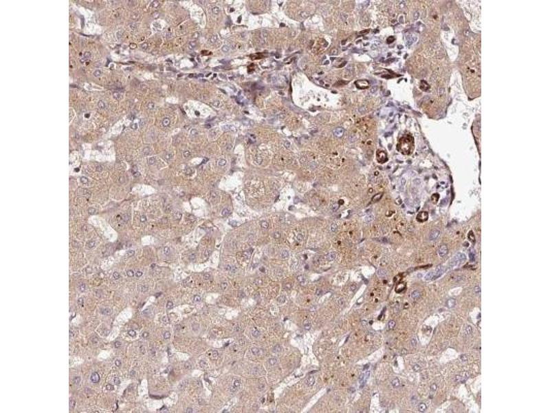Immunohistochemistry (IHC) image for anti-Peptidoglycan Recognition Protein 2 (PGLYRP2) antibody (ABIN4345108)