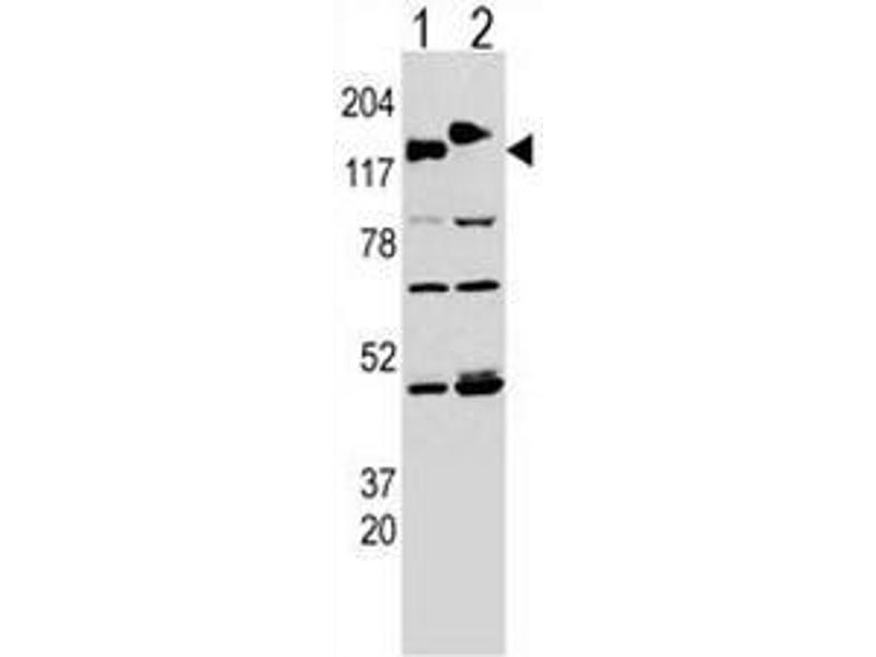 Western Blotting (WB) image for anti-CLASP2 antibody (Cytoplasmic Linker Associated Protein 2) (AA 1005-1034) (ABIN951541)