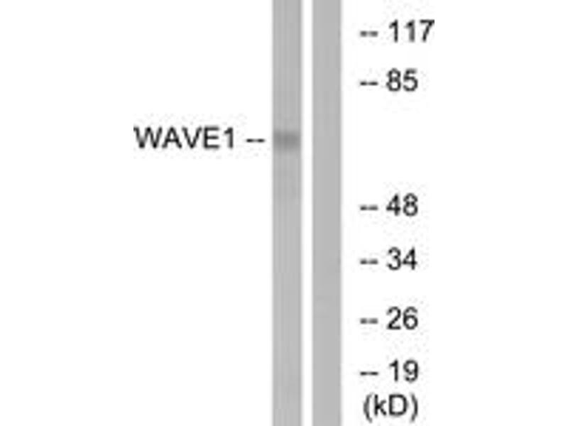 Western Blotting (WB) image for anti-WAS Protein Family, Member 1 (WASF1) (AA 91-140) antibody (ABIN1532430)