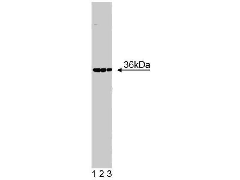 Western Blotting (WB) image for anti-5'-Nucleotidase, Cytosolic III (NT5C3) (AA 54-221) antibody (ABIN968020)