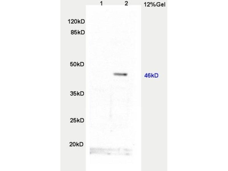 Western Blotting (WB) image for anti-Twist Homolog 1 (Drosophila) (TWIST1) (AA 108-150) antibody (ABIN2179882)
