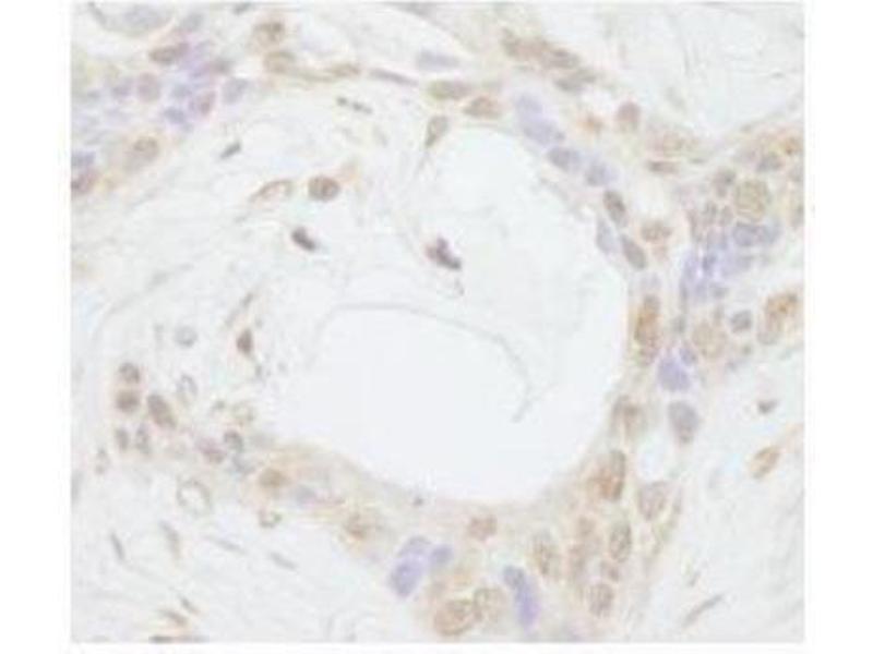 Immunohistochemistry (Paraffin-embedded Sections) (IHC (p)) image for anti-Transcriptional Regulating Factor 1 (TRERF1) (AA 350-400) antibody (ABIN257099)