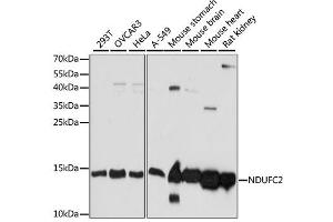 Image no. 1 for anti-NADH Dehydrogenase (Ubiquinone) 1, Subcomplex Unknown, 2, 14.5kDa (NDUFC2) antibody (ABIN6568560)