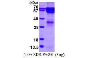 Image no. 1 for Regulator of G-Protein Signaling 14 (RGS14) protein (His tag) (ABIN6386992)