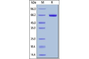 Image no. 1 for Folate Receptor 1 (Adult) (FOLR1) (AA 25-233) (Active) protein (Fc Tag,AVI tag,Biotin) (ABIN6731323)