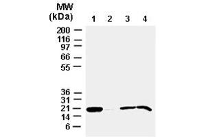 image for anti-BAX antibody (BCL2-Associated X Protein) (AA 43-60) (ABIN957153)