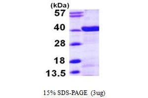 Image no. 1 for N-Myc (And STAT) Interactor (NMI) (AA 1-307) protein (His tag) (ABIN667326)