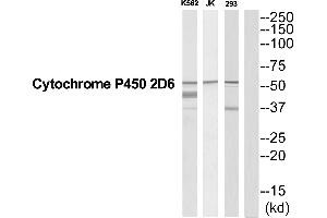 Image no. 1 for anti-Cytochrome P450, Family 2, Subfamily D, Polypeptide 6 (CYP2D6) (Internal Region) antibody (ABIN1575989)