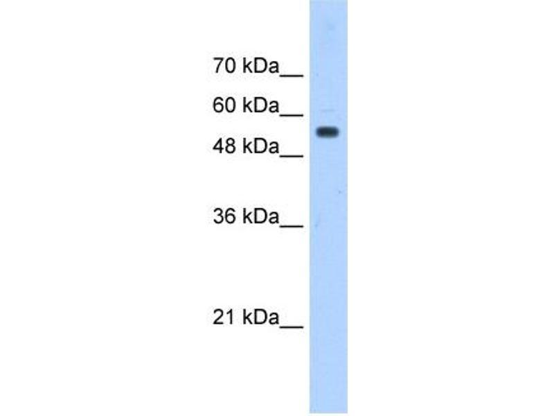 Image no. 2 for anti-Podocalyxin-Like (PODXL) (Middle Region) antibody (ABIN634824)