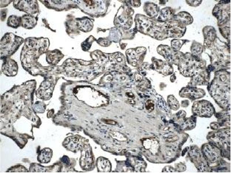 Immunohistochemistry (IHC) image for anti-TIE1 antibody (tyrosine Kinase with Immunoglobulin-Like and EGF-Like Domains 1) (Extracellular Domain) (ABIN258833)
