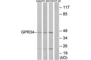 Image no. 1 for anti-G Protein-Coupled Receptor 34 (GPR34) (AA 181-230) antibody (ABIN1535743)