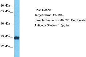 Image no. 1 for anti-Olfactory Receptor, Family 10, Subfamily A, Member 2 (OR10A2) (Middle Region) antibody (ABIN2791808)