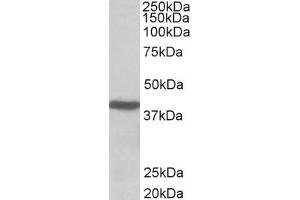 Image no. 1 for anti-Acetyl-CoA Acetyltransferase 1 (ACAT1) (AA 253-266) antibody (ABIN571083)