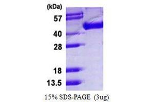 Image no. 1 for Influenza Hemagglutinin HA1 Chain (HA1) protein (His tag) (ABIN1098607)