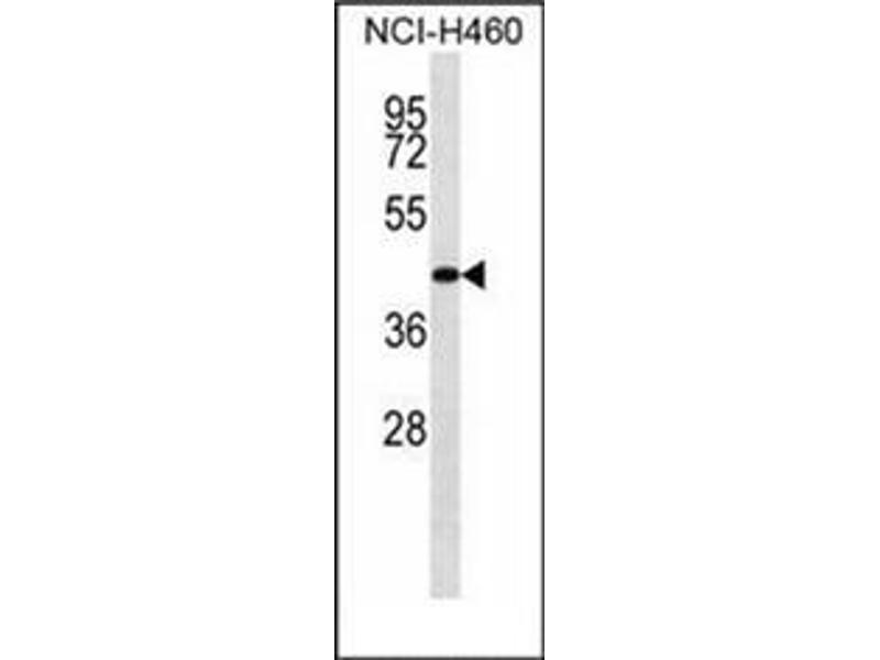 Western Blotting (WB) image for anti-DnaJ (Hsp40) Homolog, Subfamily B, Member 11 (DNAJB11) (AA 62-92), (N-Term) antibody (ABIN951941)