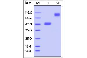 Image no. 2 for Tumor Necrosis Factor (Ligand) Superfamily, Member 18 (TNFSF18) (AA 47-173) (Active) protein (Fc Tag) (ABIN4949171)