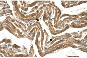 Image no. 3 for anti-FIC Domain Containing (FICD) (C-Term) antibody (ABIN2782757)