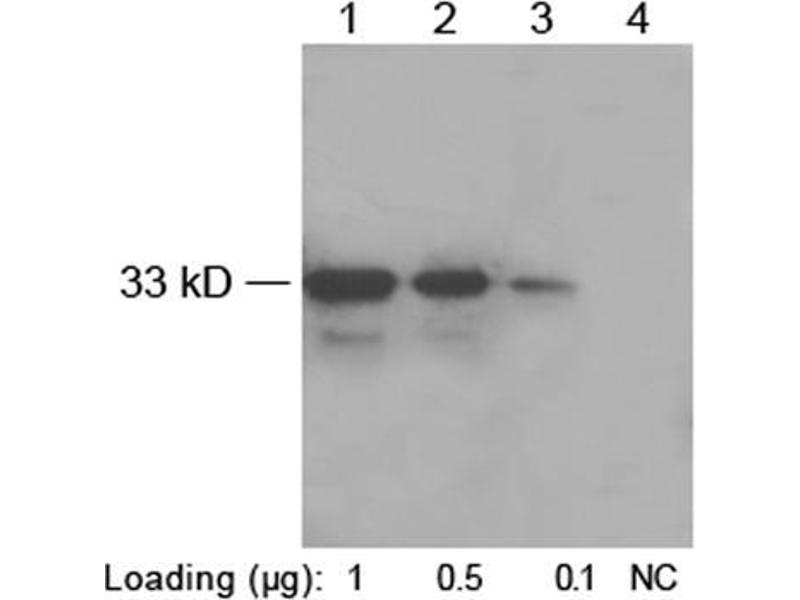 Western Blotting (WB) image for anti-His Tag antibody (ABIN1573881)
