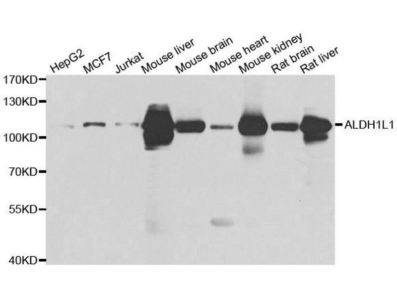 Image no. 1 for anti-Aldehyde Dehydrogenase 1 Family, Member L1 (ALDH1L1) antibody (ABIN2561031)