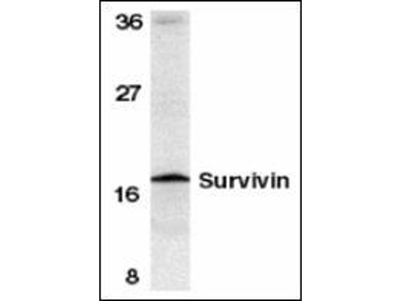 Western Blotting (WB) image for anti-BIRC5 antibody (Baculoviral IAP Repeat-Containing 5) (C-Term) (ABIN500292)