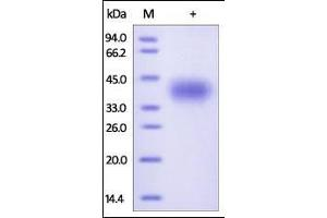 Image no. 1 for CD200 Molecule (CD200) (AA 31-232) protein (His tag) (ABIN2180723)