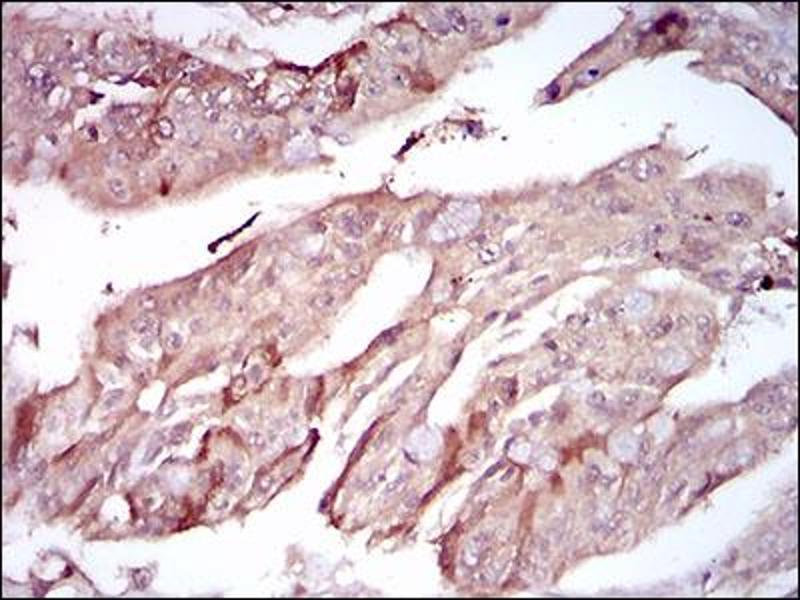 Immunohistochemistry (IHC) image for anti-Paraoxonase 1 (PON1) (AA 20-155) antibody (ABIN1724909)