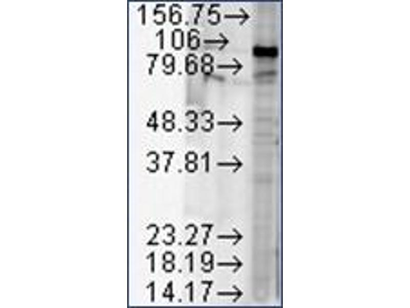 Image no. 2 for anti-Heat Shock Protein 90kDa alpha (Cytosolic), Class B Member 1 (HSP90AB1) antibody (ABIN264896)