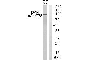 Image no. 1 for anti-DYN1 (pSer778) antibody (ABIN1576142)