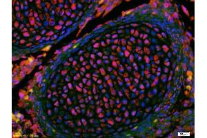 Image no. 3 for anti-Kruppel-Like Factor 2 (Lung) (KLF2) (AA 265-315) antibody (ABIN680473)