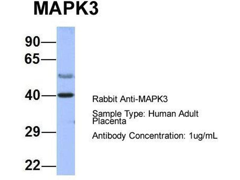Western Blotting (WB) image for anti-MAPK3 antibody (Mitogen-Activated Protein Kinase 3) (Middle Region) (ABIN2786699)