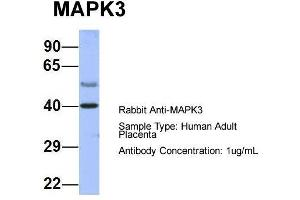 Western Blotting (WB) image for anti-Mitogen-Activated Protein Kinase 3 (MAPK3) (Middle Region) antibody (ABIN2786699)