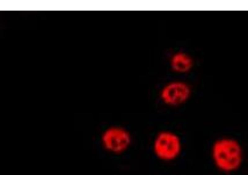Immunofluorescence (fixed cells) (IF/ICC) image for anti-Aryl Hydrocarbon Receptor Nuclear Translocator (ARNT) antibody (ABIN6260045)