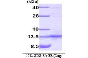 Image no. 1 for TRAF Family Member-Associated NFKB Activator (TANK) (AA 1-119) protein (ABIN935032)