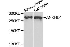 Image no. 1 for anti-Ankyrin Repeat and KH Domain Containing 1 (ANKHD1) antibody (ABIN6571625)