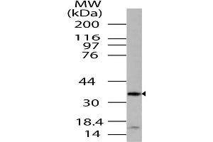 Image no. 1 for anti-mTOR Associated Protein, LST8 Homolog (MLST8) (AA 100-320) antibody (ABIN5027338)