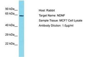 Image no. 1 for anti-Neuron-Derived Neurotrophic Factor (NDNF) (AA 490-539) antibody (ABIN6750671)