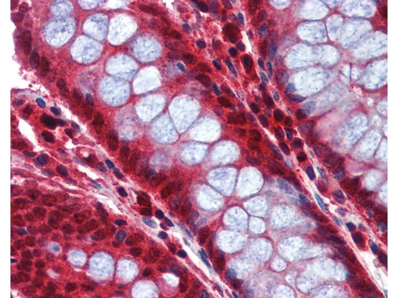 Image no. 3 for anti-Caspase 8 (CASP8) (C-Term) antibody (ABIN462480)