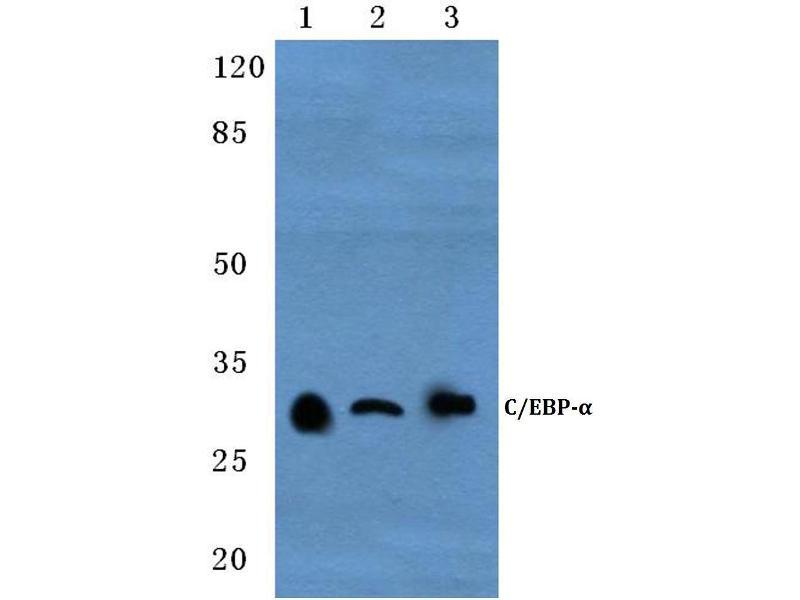 Western Blotting (WB) image for anti-CCAAT/enhancer Binding Protein (C/EBP), alpha (CEBPA) antibody (ABIN498252)