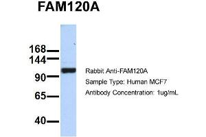Image no. 2 for anti-Family with Sequence Similarity 120A (FAM120A) (Middle Region) antibody (ABIN2786049)