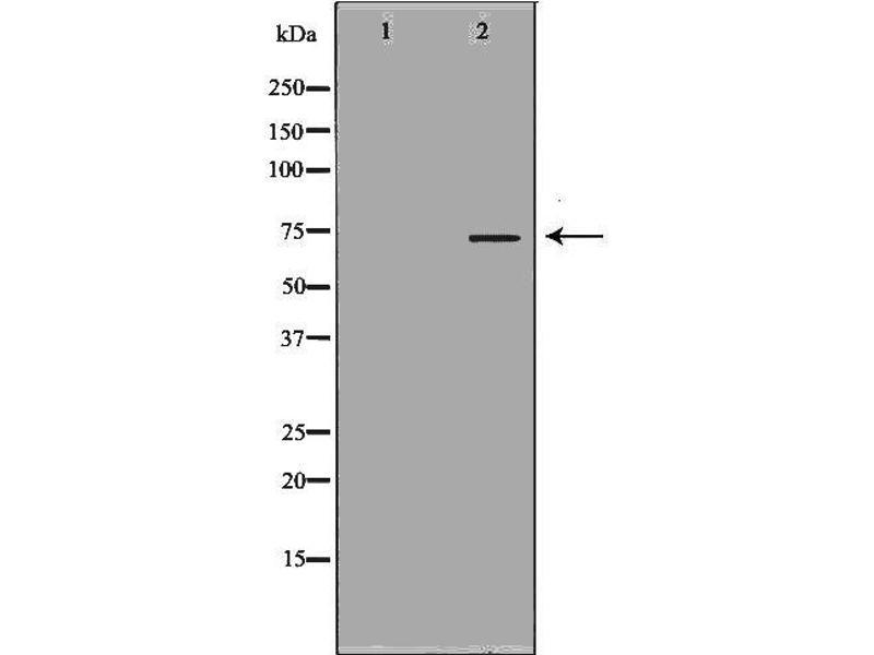 Western Blotting (WB) image for anti-Kininogen 1 (KNG1) antibody (ABIN6262859)