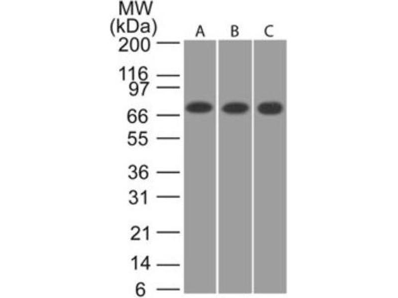 Western Blotting (WB) image for anti-Calcium/calmodulin-Dependent Protein Kinase (CaM Kinase) II beta (CAMK2B) antibody (ABIN4287582)