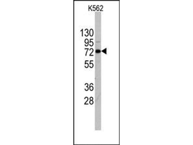 image for anti-DDX4 antibody (DEAD Box Protein 4) (C-Term) (ABIN356869)